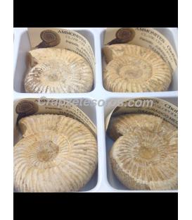 Ammonites Choffantia