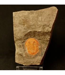 Trilobites Asaphida fósil de unos 500 millones de años