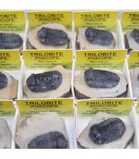 Trilobites Phacops en cajita de coleccion