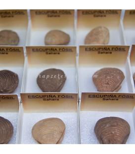 Escupiña fósil en cajita individual del Sáhara