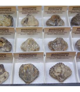 Rhynchonella fósil de Midelt en cajita individual.