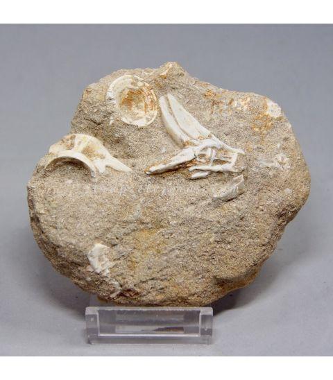 Vértebra y cola fósil de Enchodus Lybicus