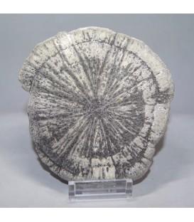 Pirita sol o radial de U.S.A. en peana