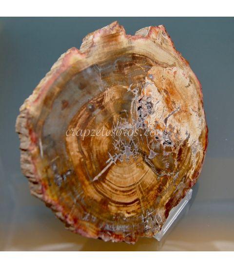 Xilópalo ( árbol fósil ) de Hunan - China del Cretácico